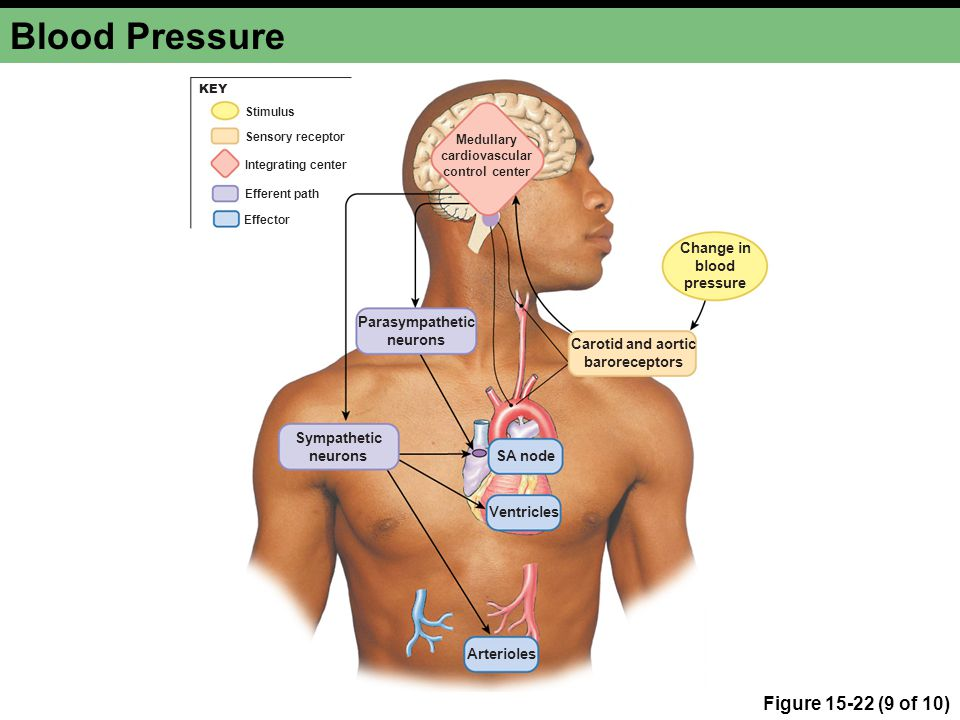 Medullary cardiovascular control center Carotid and aortic baroreceptors Change in blood pressure Parasympathetic neurons Sympathetic neurons Arterioles Ventricles SA node Integrating center Stimulus Efferent path Effector Sensory receptor KEY Blood Pressure Figure 15-22 (9 of 10)