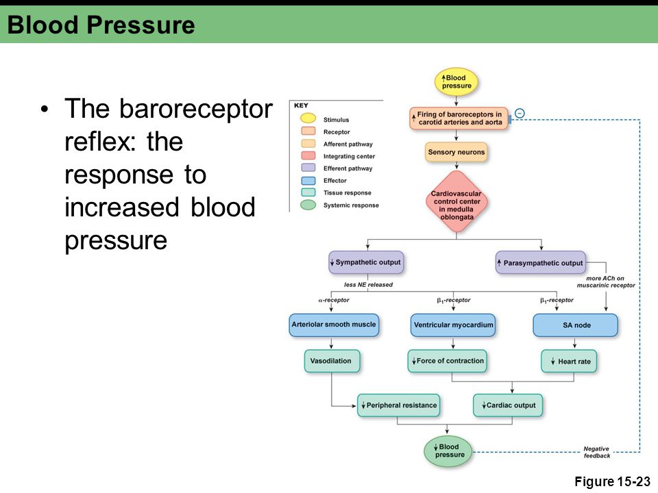 Blood Pressure The baroreceptor reflex: the response to increased blood pressure Figure 15-23