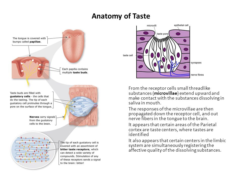 Anatomy of Taste From the receptor cells small threadlike substances (microvillae) extend upward and make contact with the substances dissolving in saliva in mouth.