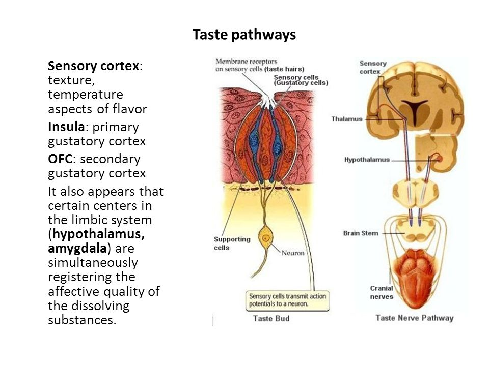 Taste pathways Sensory cortex: texture, temperature aspects of flavor Insula: primary gustatory cortex OFC: secondary gustatory cortex It also appears that certain centers in the limbic system (hypothalamus, amygdala) are simultaneously registering the affective quality of the dissolving substances.