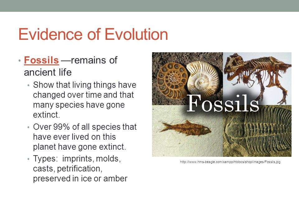 Evidence of Evolution Fossils —remains of ancient life Show that living things have changed over time and that many species have gone extinct. Over 99