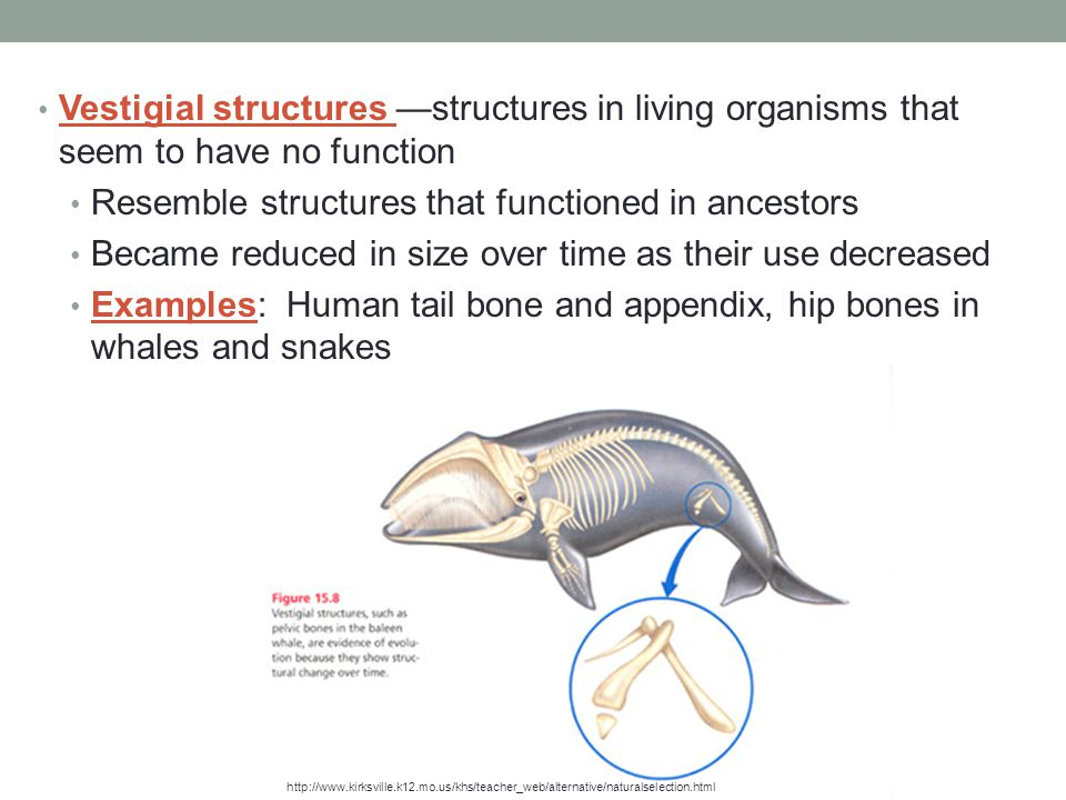 Vestigial structures —structures in living organisms that seem to have no function Resemble structures that functioned in ancestors Became reduced in