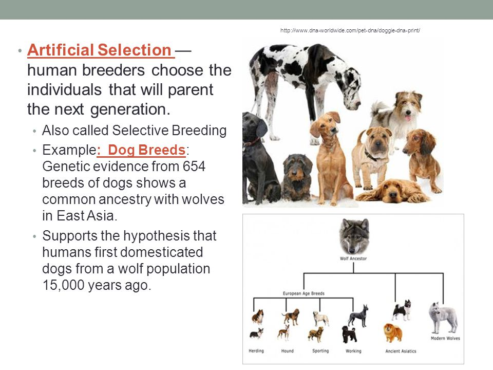 Artificial Selection — human breeders choose the individuals that will parent the next generation. Also called Selective Breeding Example: Dog Breeds: