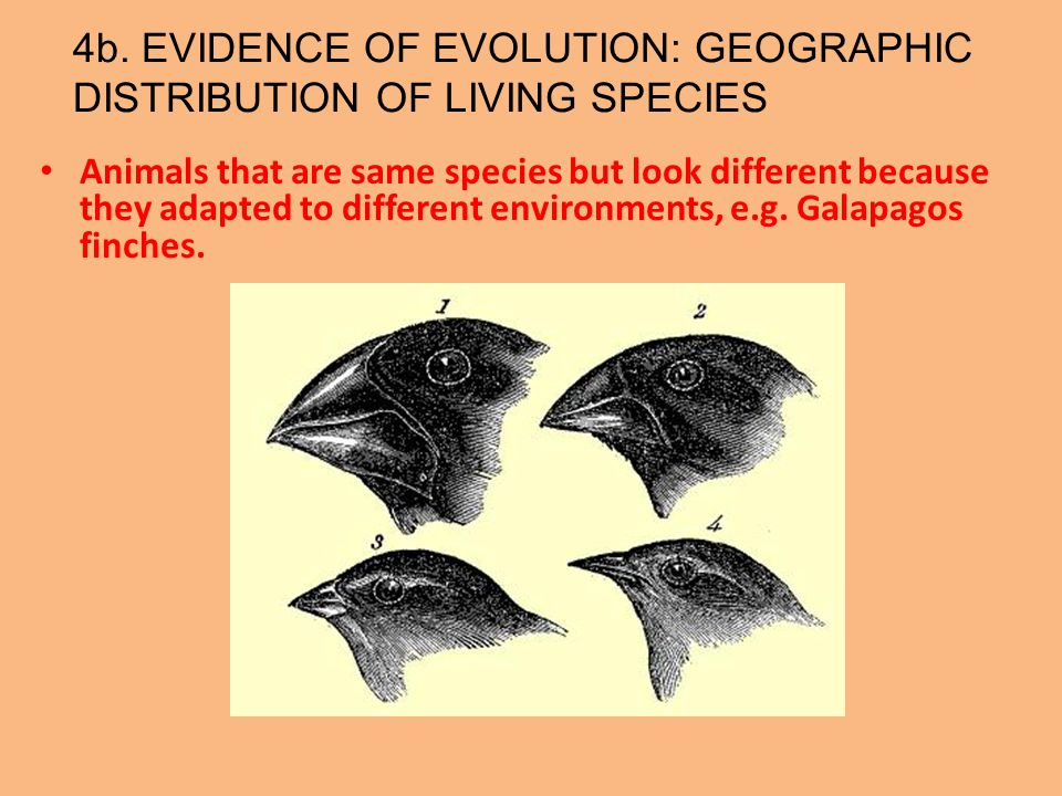 4b. EVIDENCE OF EVOLUTION: GEOGRAPHIC DISTRIBUTION OF LIVING SPECIES Animals that are same species but look different because they adapted to differen
