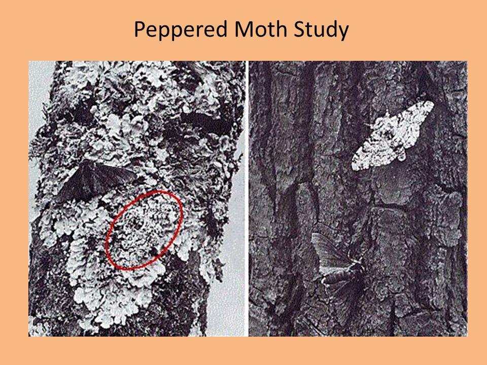 Peppered Moth Study