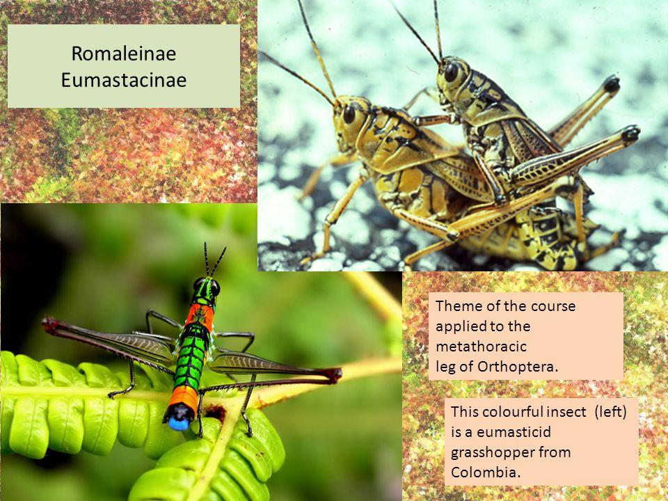 Romaleinae Eumastacinae Theme of the course applied to the metathoracic leg of Orthoptera.
