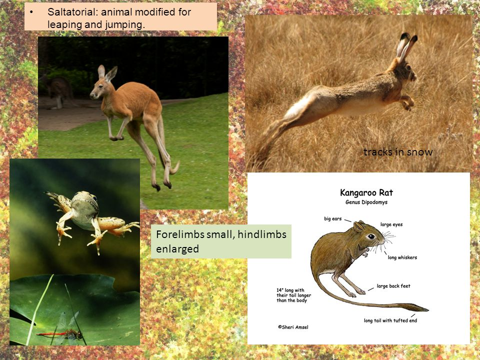 Saltatorial: animal modified for leaping and jumping.