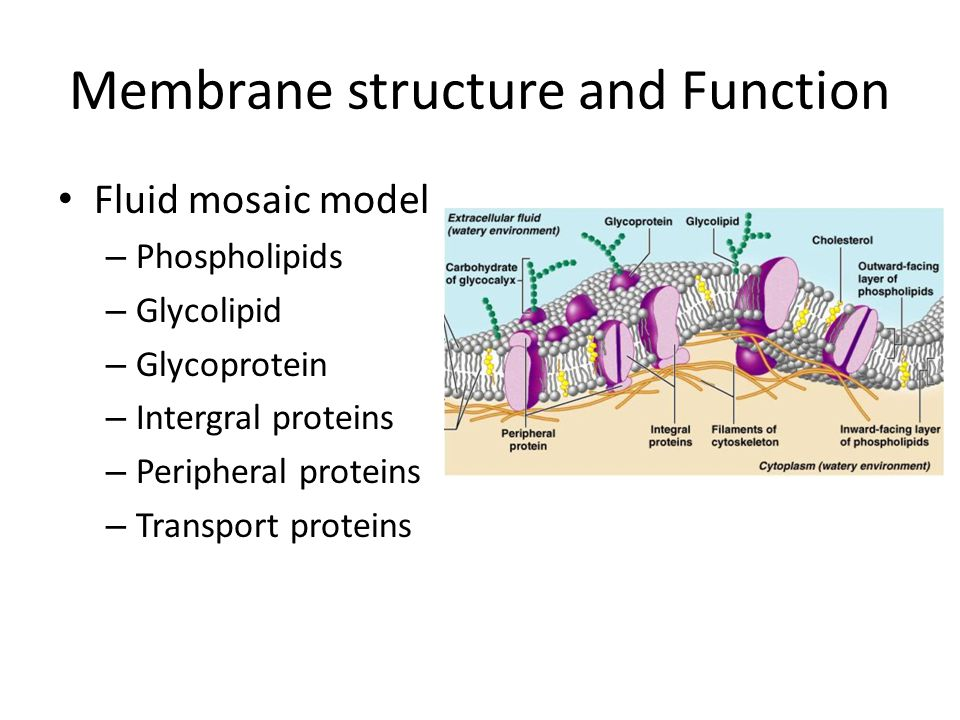 Membrane structure and Function Fluid mosaic model – Phospholipids – Glycolipid – Glycoprotein – Intergral proteins – Peripheral proteins – Transport