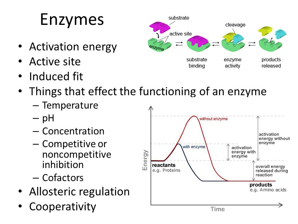 Enzymes Activation energy Active site Induced fit Things that effect the functioning of an enzyme – Temperature – pH – Concentration – Competitive or