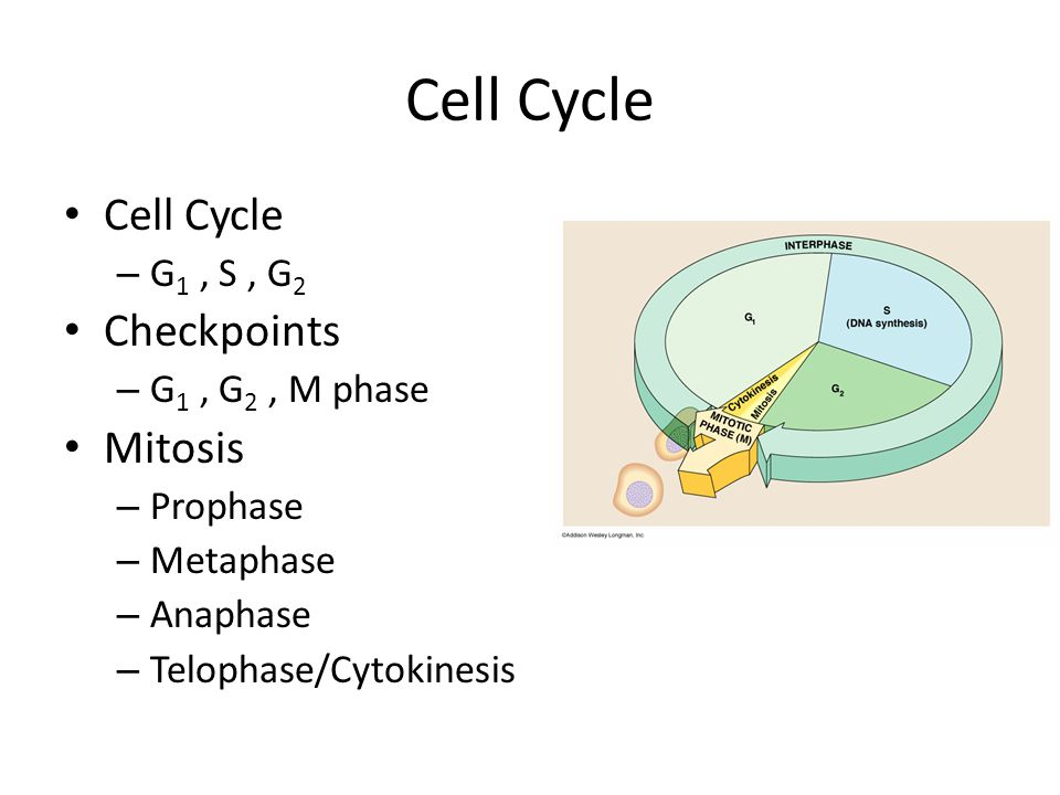 Cell Cycle – G 1, S, G 2 Checkpoints – G 1, G 2, M phase Mitosis – Prophase – Metaphase – Anaphase – Telophase/Cytokinesis