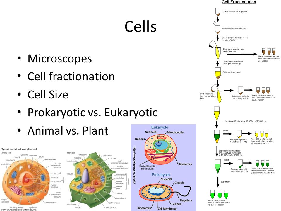 Cells Microscopes Cell fractionation Cell Size Prokaryotic vs. Eukaryotic Animal vs. Plant