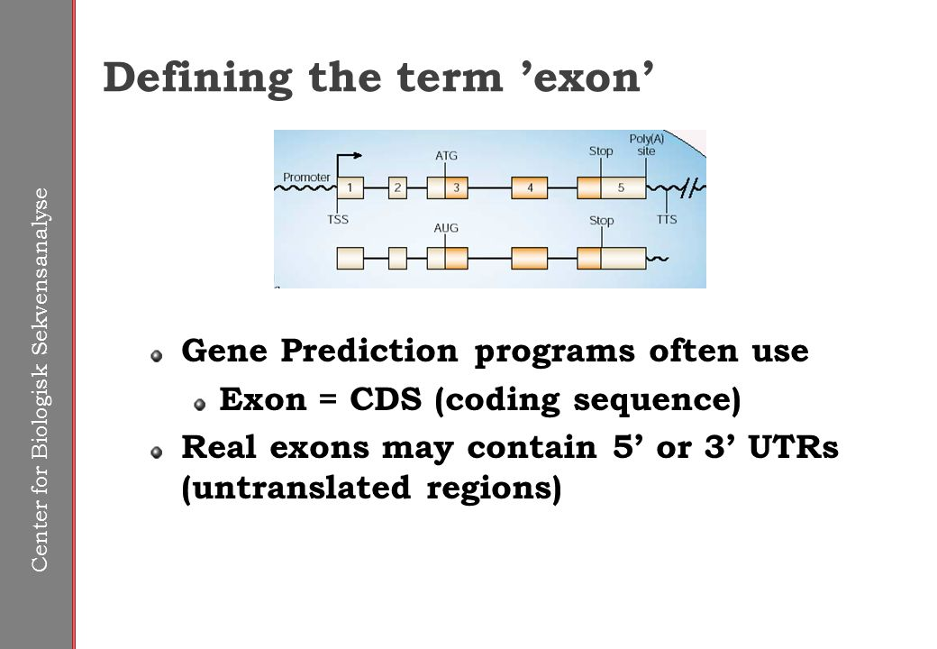 Center for Biologisk Sekvensanalyse Defining the term 'exon' Gene Prediction programs often use Exon = CDS (coding sequence) Real exons may contain 5' or 3' UTRs (untranslated regions)