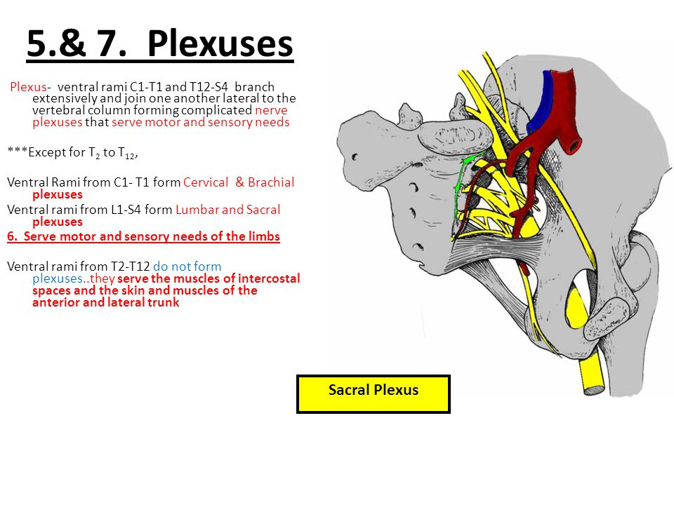 5.& 7. Plexuses Plexus- ventral rami C1-T1 and T12-S4 branch extensively and join one another lateral to the vertebral column forming complicated nerv