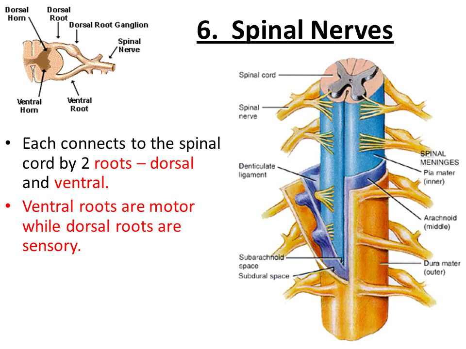 6. Spinal Nerves Each connects to the spinal cord by 2 roots – dorsal and ventral. Ventral roots are motor while dorsal roots are sensory.