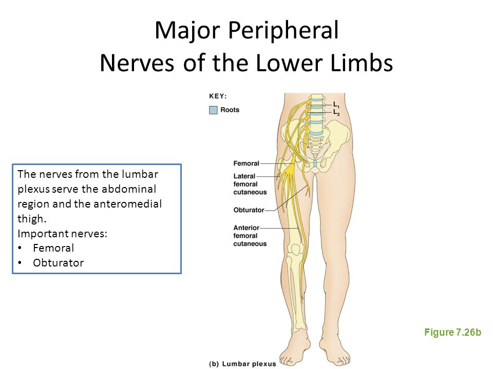 Major Peripheral Nerves of the Lower Limbs Figure 7.26b The nerves from the lumbar plexus serve the abdominal region and the anteromedial thigh. Impor