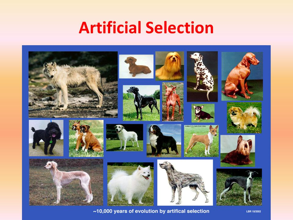 Evolution by Natural Selection Darwin thought that a similar process occurs in nature.