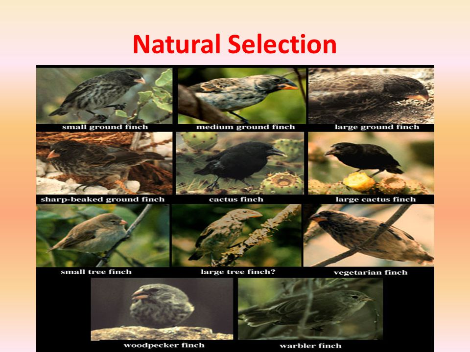 Evolution by Natural Selection Continued – Individuals best suited to their environment survive and reproduce most successfully.