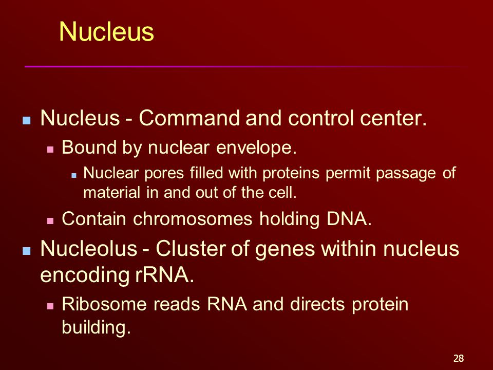 28 Nucleus Nucleus - Command and control center. Bound by nuclear envelope. Nuclear pores filled with proteins permit passage of material in and out o