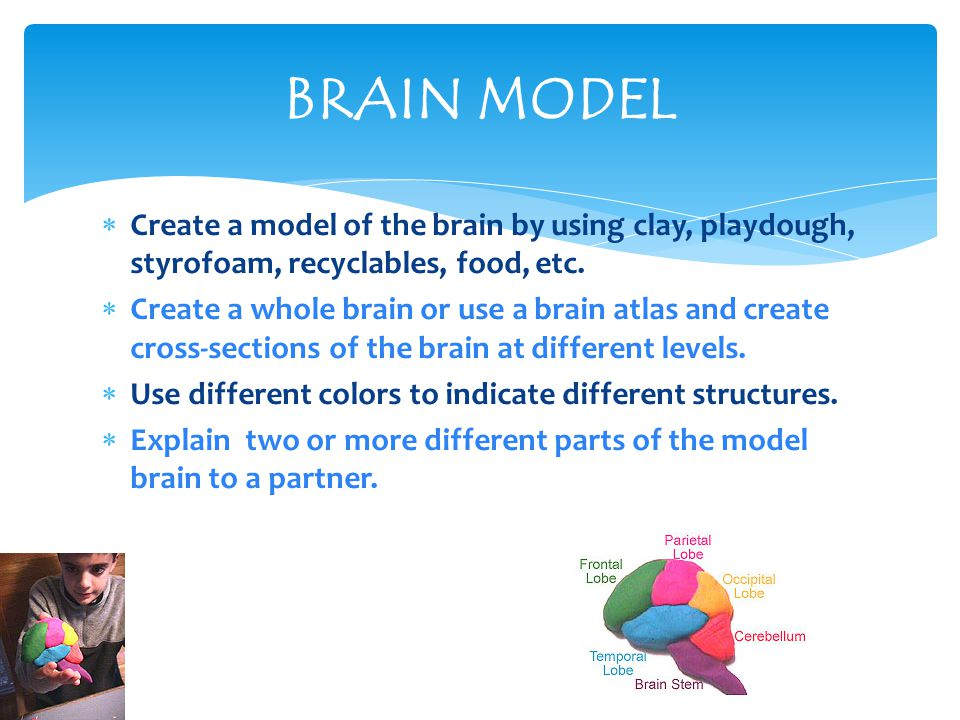  Create a model of the brain by using clay, playdough, styrofoam, recyclables, food, etc.