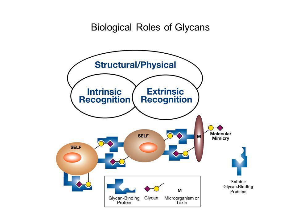 Soluble Glycan-Binding Proteins Biological Roles of Glycans
