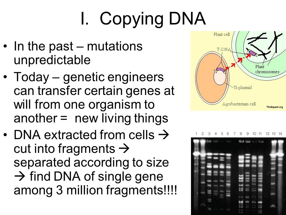 I. Copying DNA In the past – mutations unpredictable Today – genetic engineers can transfer certain genes at will from one organism to another = new l