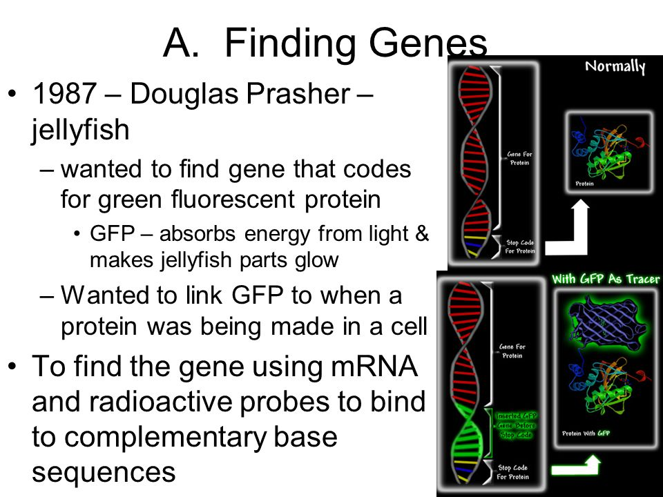 A. Finding Genes 1987 – Douglas Prasher – jellyfish –wanted to find gene that codes for green fluorescent protein GFP – absorbs energy from light & ma