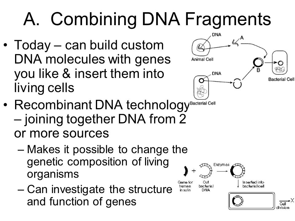 A. Combining DNA Fragments Today – can build custom DNA molecules with genes you like & insert them into living cells Recombinant DNA technology – joi