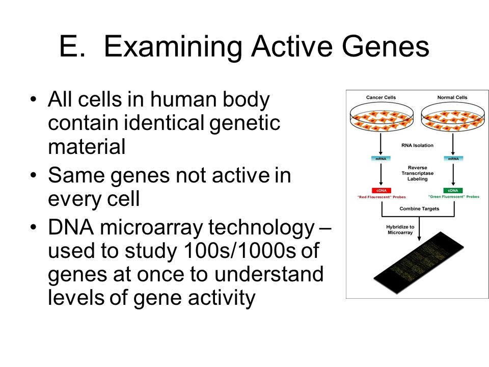 E. Examining Active Genes All cells in human body contain identical genetic material Same genes not active in every cell DNA microarray technology – u