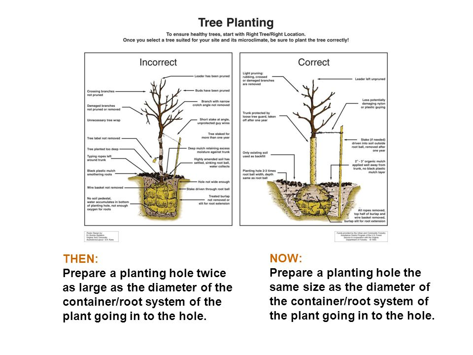 THEN: Prepare a planting hole twice as large as the diameter of the container/root system of the plant going in to the hole.