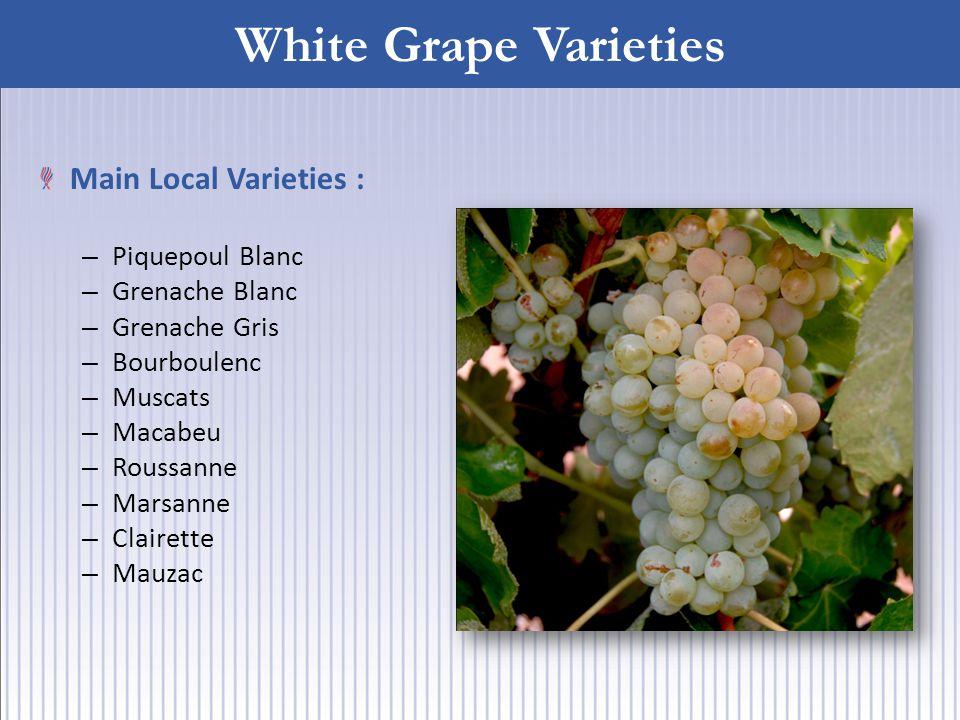 White Grape Varieties Main Local Varieties : – Piquepoul Blanc – Grenache Blanc – Grenache Gris – Bourboulenc – Muscats – Macabeu – Roussanne – Marsanne – Clairette – Mauzac