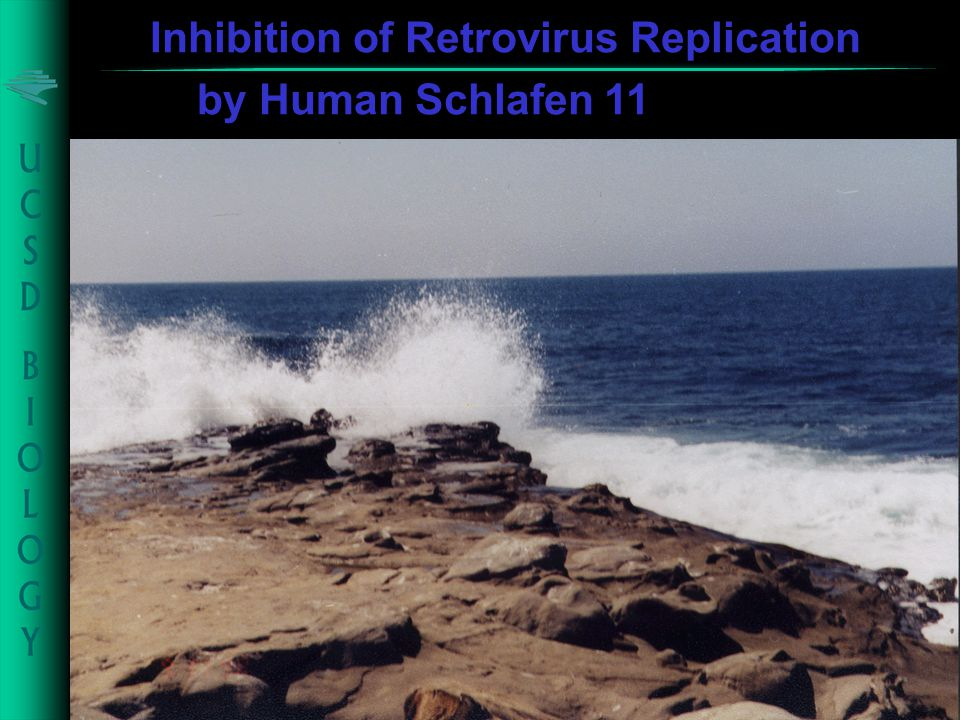 Inhibition of Retrovirus Replication by Human Schlafen 11