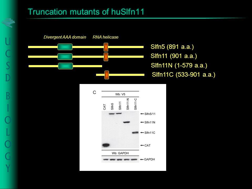 Slfn5 (891 a.a.) RNA helicase Divergent AAA domain Slfn11 (901 a.a.) Slfn11N (1-579 a.a.) Slfn11C (533-901 a.a.) Truncation mutants of huSlfn11