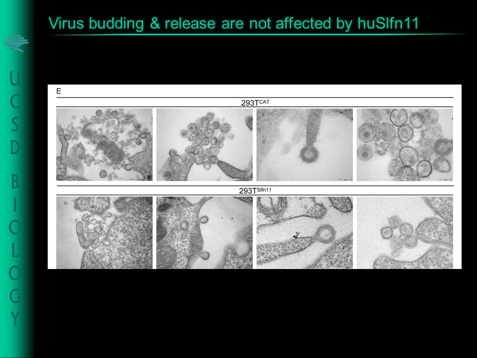 Virus budding & release are not affected by huSlfn11
