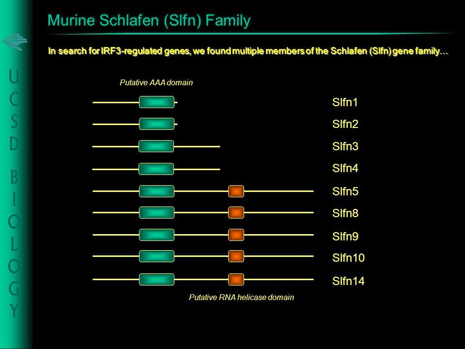 Murine Schlafen (Slfn) Family Slfn5 Slfn8 Slfn9 Putative AAA domain Slfn14 Slfn3 Slfn4 Slfn10 Slfn1 Slfn2 In search for IRF3-regulated genes, we found multiple members of the Schlafen (Slfn) gene family… Putative RNA helicase domain