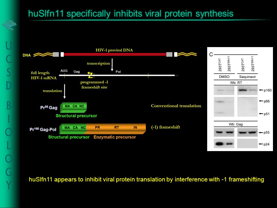 huSlfn11 appears to inhibit viral protein translation by interference with -1 frameshifting