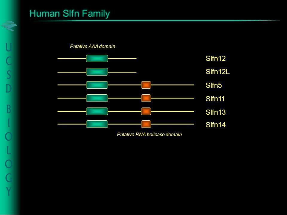 Human Slfn Family Slfn5 Slfn11 Slfn13 Slfn12 Slfn12L Putative AAA domain Slfn14 Putative RNA helicase domain