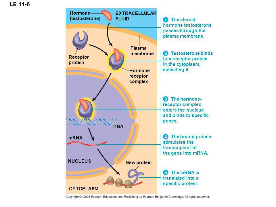 LE 11-6 EXTRACELLULAR FLUID Plasma membrane The steroid hormone testosterone passes through the plasma membrane.