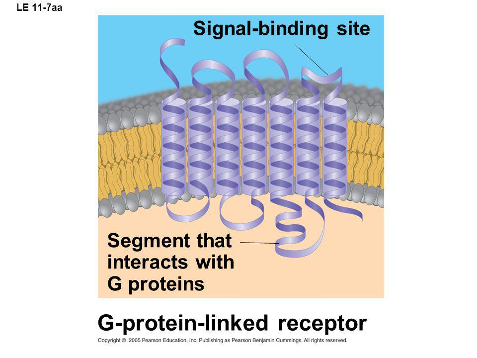 LE 11-7aa Segment that interacts with G proteins Signal-binding site G-protein-linked receptor