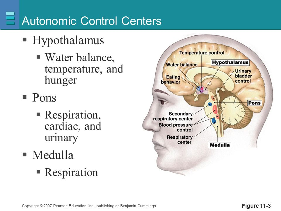 Copyright © 2007 Pearson Education, Inc., publishing as Benjamin Cummings Autonomic Control Centers  Hypothalamus  Water balance, temperature, and h