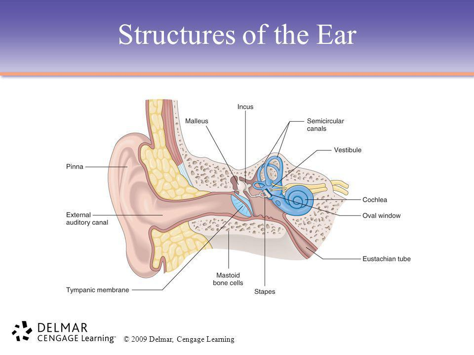© 2009 Delmar, Cengage Learning Structures of the Ear