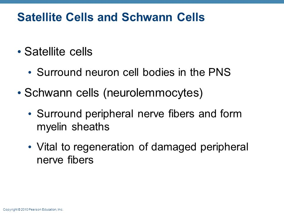 Copyright © 2010 Pearson Education, Inc. Satellite Cells and Schwann Cells Satellite cells Surround neuron cell bodies in the PNS Schwann cells (neuro