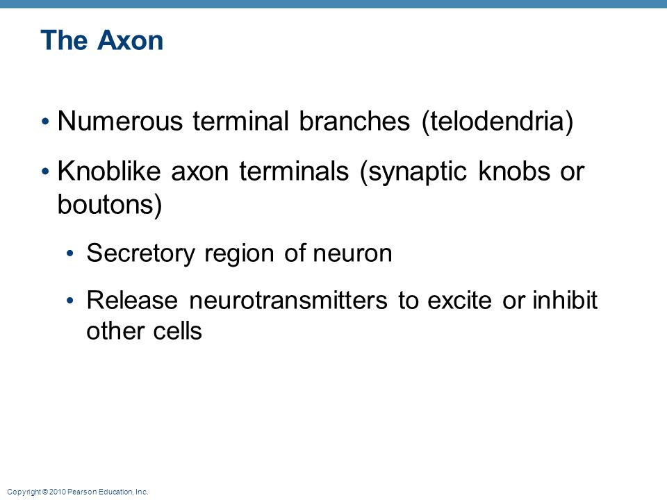 Copyright © 2010 Pearson Education, Inc. The Axon Numerous terminal branches (telodendria) Knoblike axon terminals (synaptic knobs or boutons) Secreto