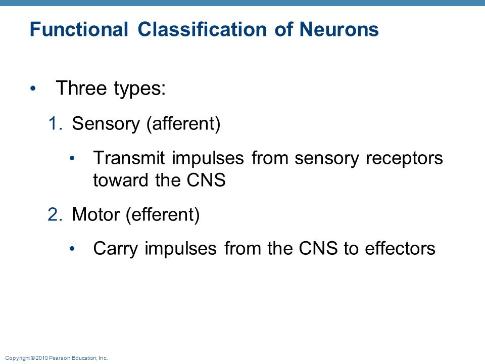 Copyright © 2010 Pearson Education, Inc. Functional Classification of Neurons Three types: 1.Sensory (afferent) Transmit impulses from sensory recepto