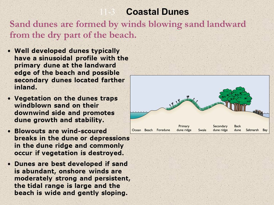 Sand dunes are formed by winds blowing sand landward from the dry part of the beach. Well developed dunes typically have a sinusoidal profile with the