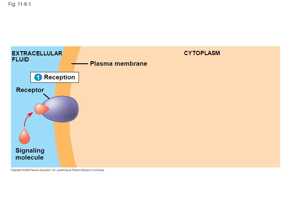 Fig. 11-6-1 Reception 1 EXTRACELLULAR FLUID Signaling molecule Plasma membrane CYTOPLASM 1 Receptor