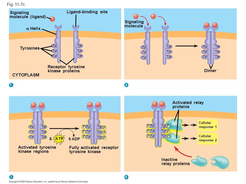 Fig. 11-7c Signaling molecule (ligand) Ligand-binding site  Helix Tyrosines Tyr Receptor tyrosine kinase proteins CYTOPLASM Signaling molecule Tyr Di