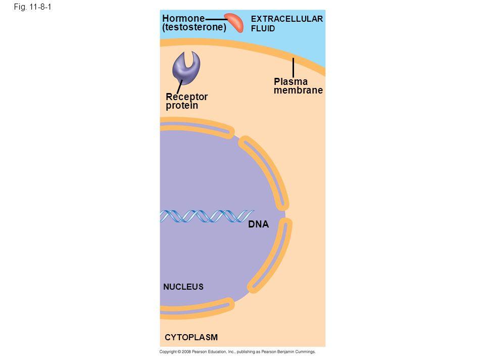 Fig. 11-8-1 Hormone (testosterone) Receptor protein Plasma membrane EXTRACELLULAR FLUID DNA NUCLEUS CYTOPLASM