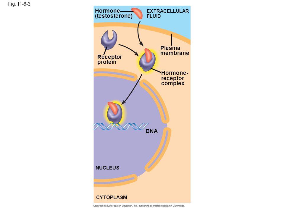 Fig. 11-8-3 Hormone (testosterone) EXTRACELLULAR FLUID Receptor protein Plasma membrane Hormone- receptor complex DNA NUCLEUS CYTOPLASM