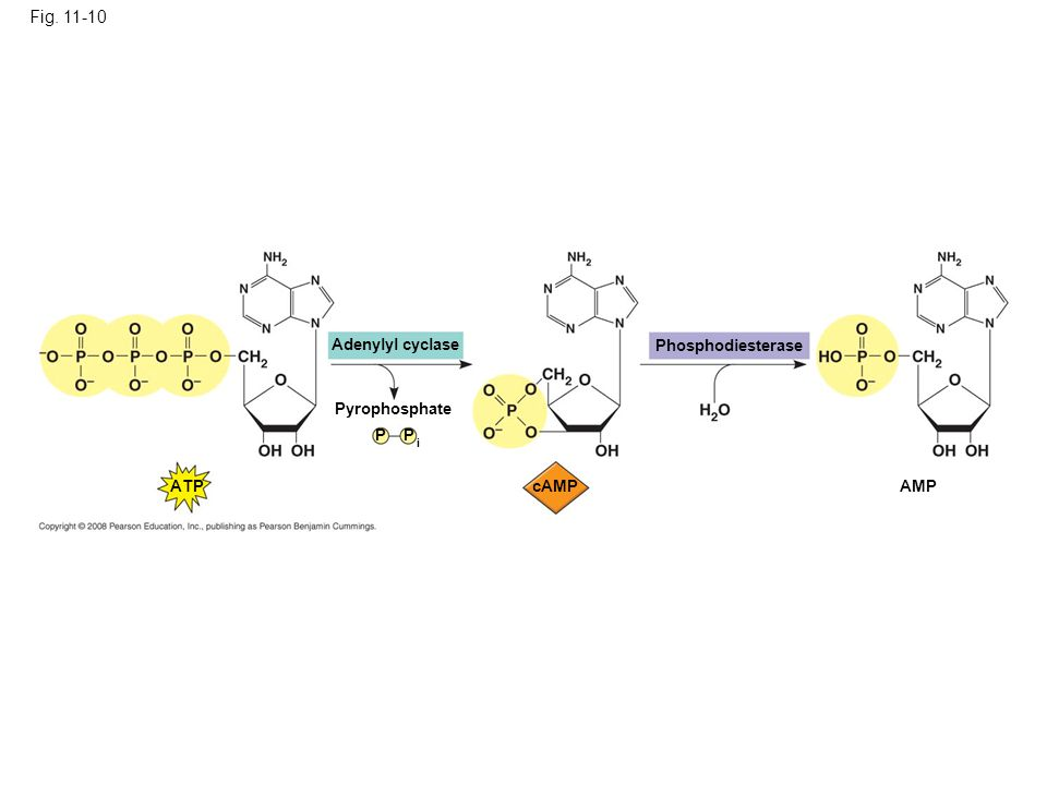 Adenylyl cyclase Fig. 11-10 Pyrophosphate P P i ATP cAMP Phosphodiesterase AMP