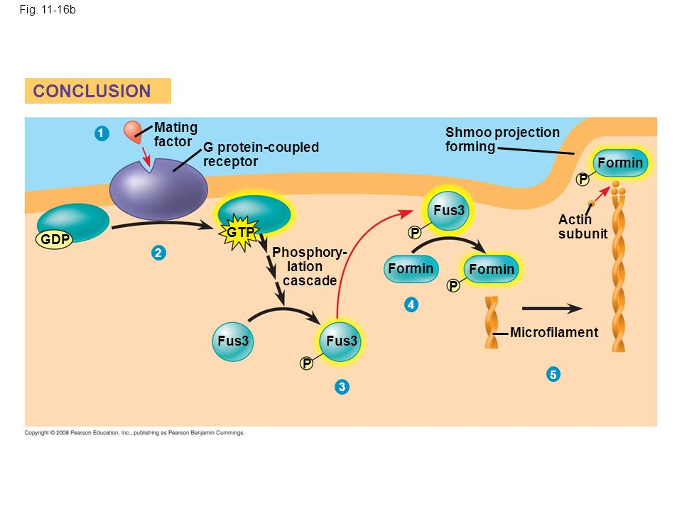Fig. 11-16b CONCLUSION Mating factor G protein-coupled receptor GDP GTP Phosphory- lation cascade Shmoo projection forming Fus3 Formin P P P P Actin s